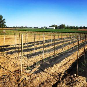 Tomato rows